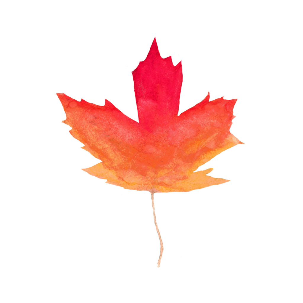 Canadian Maple Leaf Watercolor Print by Aliya Bora