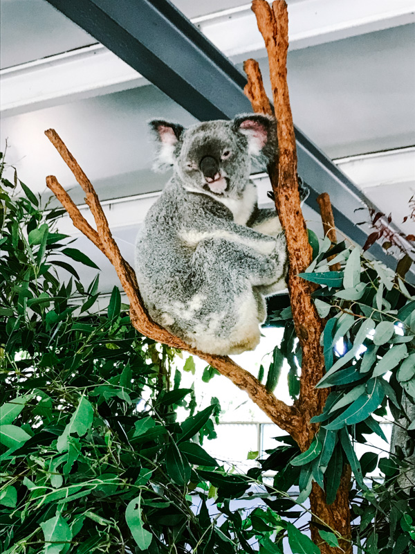 Koala at Lone Pine Koala Sanctuary in Brisbane, Australia.