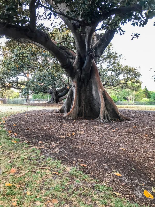 Trees at Royal Botanic Garden in Sydney, Australia